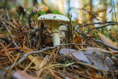 Falloides pâles d'amanite de champignon dans une forêt de pin, s'élevant dedans photo libre de droits