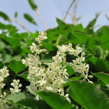 Fallopia baldschuanica. Small white flowers of the plant quickly creeping Fallopia baldschuanica Stock Image