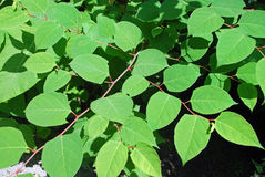 Fallopia japonica Royalty Free Stock Photography