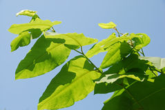 Fallopia sachalinensis Royalty Free Stock Images