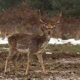 Fallow buck 1. Stock Photos