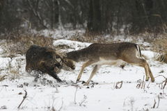 Fallow buck - boar fight Stock Image