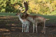 Fallow Buck and Doe Royalty Free Stock Image