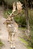 Fallow buck Stock Photo