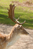 Fallow buck portrait Stock Image