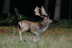 Fallow buck are run. Over the meadow, autumn, dama dama royalty free stock image