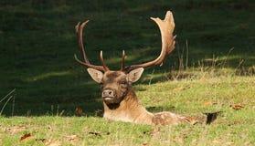 Fallow buck sitting a scrape Royalty Free Stock Photo