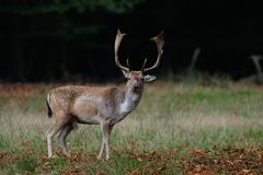 Fallow buck in autumn. Fallow buck standing on the forest meadow, autumn, dama dama royalty free stock photos