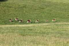 Fallow bucks Stock Images