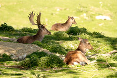 Fallow bucks sitting in the shade Royalty Free Stock Photo