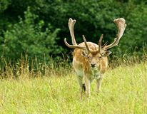 Fallow-cervos grandes coloridos com chifres grandes, homem em um campo de grama, fim acima, gama, animal selvagem agradável no fun Fotos de Stock