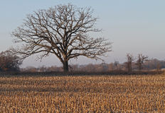 Fallow Corn Field with Solitary Tree Stock Photos