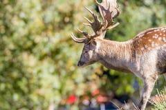Fallow Dear (Dama dama). Closeup of a Fallow Deer buck (dama dama) in summer pelage Royalty Free Stock Photo
