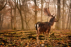 Fallow dear. In misty forest royalty free stock photography