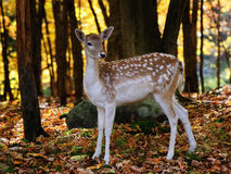 Fallow deer. A beautiful fallow deer in a colorful autumn forest Royalty Free Stock Photo
