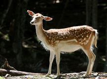 The fallow deer Royalty Free Stock Photography