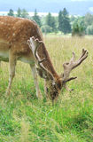Fallow deer. Game preserve.Czech rep Stock Images