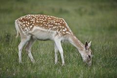 Fallow Deer. A female Fallow Deer grazing on the field Stock Image