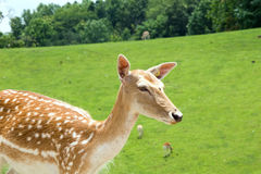 Fallow Deer. At a safari park zoo in Virginia. Female with green grassy field behind her stock photo