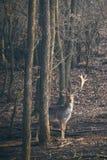 Fallow deer Dama Dama. Fallow deer in the forest royalty free stock image