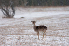 Fallow Deer. A young Fallow Deer in the snow Stock Image