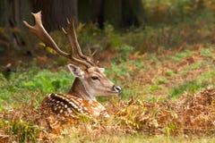 Fallow Deer. A large fallow deer buck in Autumn woodland Royalty Free Stock Photos