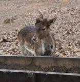 A fallow deer. In a zoo stock photo