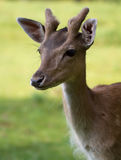 Fallow Deer Royalty Free Stock Photos