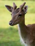 Fallow Deer. (lat. Dama dama Royalty Free Stock Photos