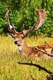Fallow Deer. Male resting in the grass royalty free stock photo
