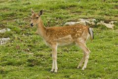 Fallow Deer. Looking into the distance Stock Photography