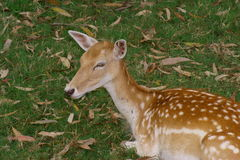 Fallow Deer. (Dama dama)doe resting in field Royalty Free Stock Photography