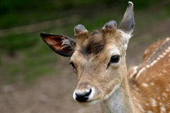 Fallow Deer. Fawns are born in spring at about 30 cm and weigh around 4.5 kg. The life span is around 12 years. The first ever Fallow killed in South Georgia was Royalty Free Stock Photo