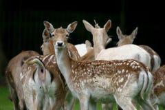 Fallow Deer. The Fallow Deer (Dama dama) is a ruminant mammal belonging to the family Cervidae stock photo