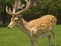 The Fallow Deer. Here is a close-up shot of the fallow deer in New Jersey royalty free stock images