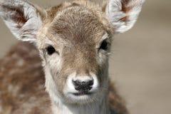 The Fallow Deer Stock Photography