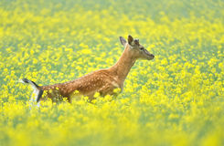 Fallow deer. In the rape Royalty Free Stock Photography