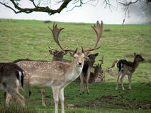 Fallow deer. With antlers in February royalty free stock photography