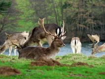 Fallow Deer. With antlers in February royalty free stock images