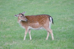 Fallow deer. A fallow deer on a green glade Royalty Free Stock Photos