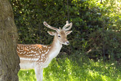 Fallow Deer. In Richmond Park, London stock photography
