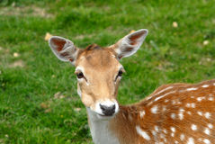 Fallow Deer. In a park Royalty Free Stock Photography