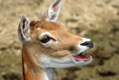 Fallow Deer. Close up on head Stock Images