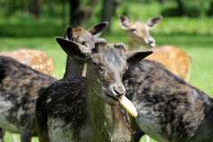 Fallow deer. In the park fed by rolls Stock Image