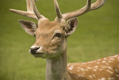Fallow deer. Head of a fallow deer on a green meadow royalty free stock photos