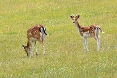 Fallow Deer. Juvenile fallow deer feeding on meadowland Stock Image