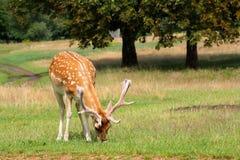 Fallow deer. An adult fallow deer eating grass in parkland Royalty Free Stock Photos