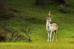 Fallow deer. Standing in the dunes Royalty Free Stock Photos