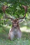 Fallow deer. A fallow deer posing in the dunes Royalty Free Stock Image