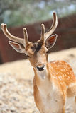 Fallow deer. Head of fallow deer with big antlers royalty free stock photos